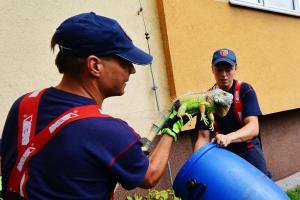 Leguán na poznávacím výletě v Ostravě. Pláchl majiteli otevřeným oknem