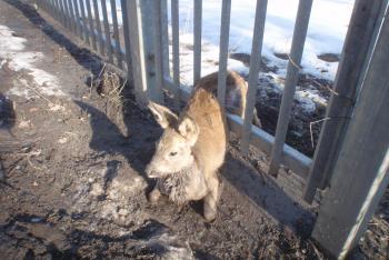 Srnu zaklesnutou v plotě vysvobodili hasiči. Zvířata nemají ve zvyku děkovat!