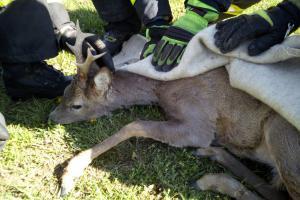 Záchrana srnce u Malého Dubičného a psa v Táboře
