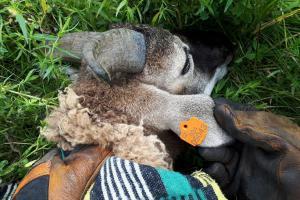 Zvířata v nouzi. Řevničtí hasiči zachránili v krátké chvíli ovci a psa